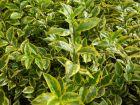 Troène de Californie, Ligustrum ovalifolium