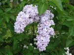 La culture en pot du lilas