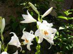 Lys de la madone, Lis blanc, Lilium candidum