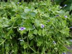Lindernie à grandes fleurs, Lindernia grandiflora