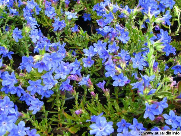 gr u00e9mil diffus  lithodora diffusa   planter  cultiver