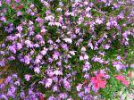 Lobelia annuelle, Lobelia de bordure, Lobélie érine, Lobélia bleue, Lobelia erinus