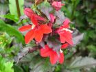 Lobélie rouge, Lobelia x speciosa