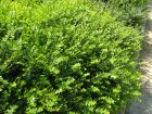 Chèvrefeuille arbustif à feuilles de buis, Chèvrefeuille brillant, Lonicera nitida
