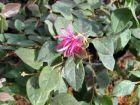 Loropétale de Chine, Loropetalum chinense