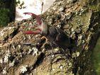 Lucarne cerf-volant ♂, Lucanus cervus