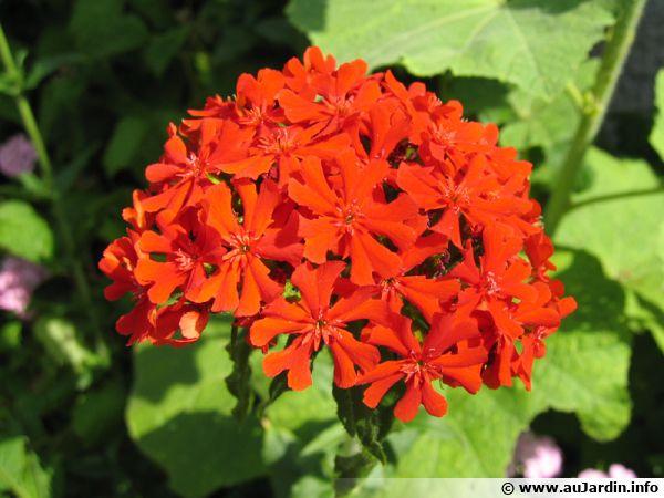 Fleur de Croix de Jérusalem, Lychnis chalcedonica, Croix de Malte
