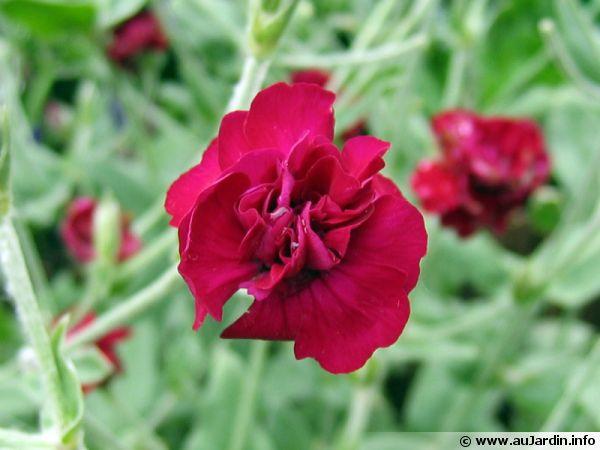 coquelourde des jardins  lychnis coronaria   conseils de