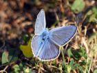 Azuré bleu céleste, Le bel Argus (Lysandra bellargus)