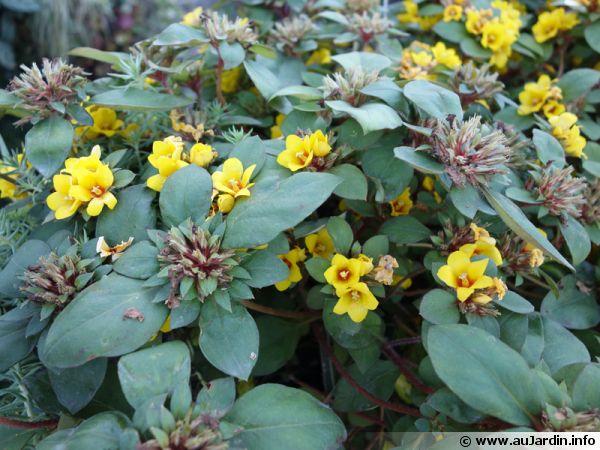 Lysimaque, Lysimachia congestiflora