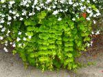 Lysimaque nummulaire retombante en jardinière
