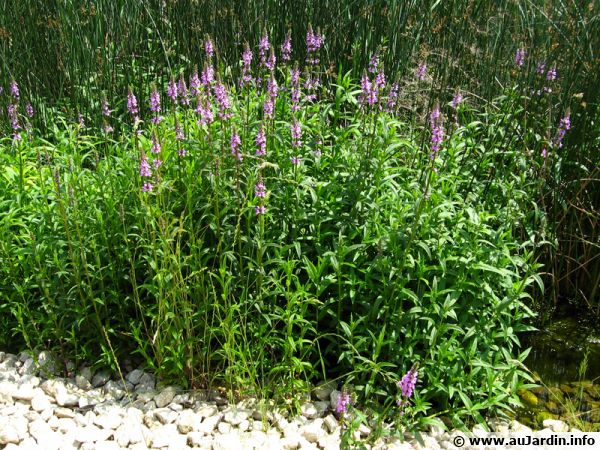 Salicaire commune, Herbe aux coliques, Lythrum salicaria