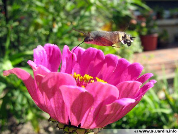 Le Moro sphinx en vol stationnaire au-dessus d'une fleur