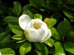 Fleur du Magnolia grandiflora, Magnolia d'�t�
