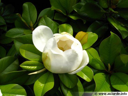 Magnolia d 39 t magnolia grandes fleurs magnolia grandiflora - Magnolia persistant petite taille ...
