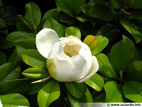 Magnolia D Ete Magnolia A Grandes Fleurs Magnolia Grandiflora