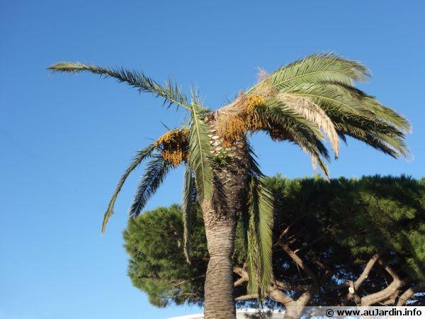 Un palmier mal en point ...