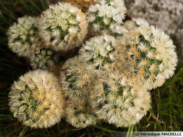 Mammilaire, Mammillaria carmenae