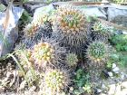 Mammilaire, Mammillaria polythele