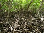 La mangrove de Martinique