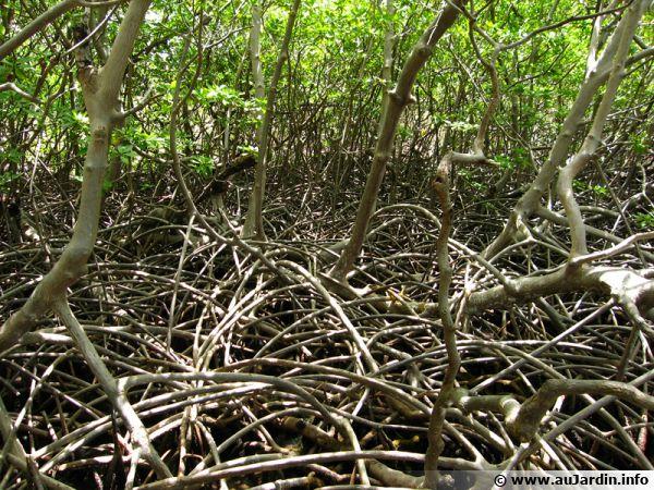 Système racinaire aérien des palétuviers dans la mangrove