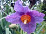 Pavot bleu de l'Himalaya, Meconopsis betonicifolia