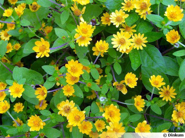 Mélanpodium, Melanpodium paludosum