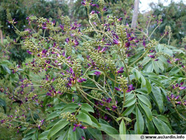 Glycine persistante, Glycine d'été, Millettia japonica 'Satsuma'