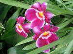 Orchidée-pensée, Miltonia, Miltoniopsis