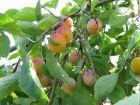 Mirabellier, Prunier à mirabelles,  Prunus domestica ssp. syriaca