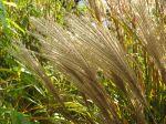 Inflorescences de Miscanthus sinensis 'Sarabande' à l'automne