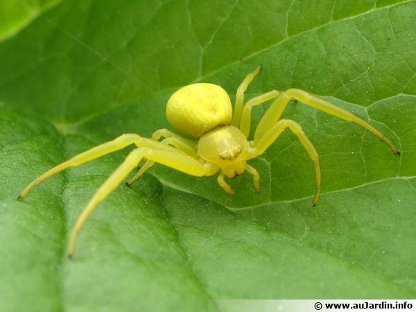 Misumena vatia est une espèce d'araignées aranéomorphes de la famille des Thomisidae aussi appelées araignées-crabes.