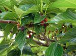 Fruit du mûrier platane, Morus bombycis