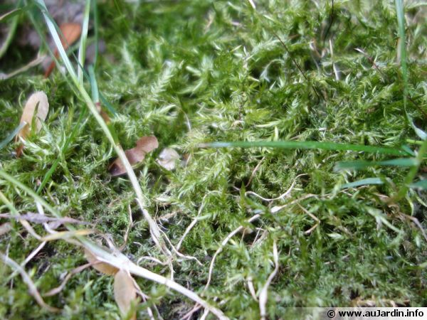 La mousse se développe au détriment du gazon de la pelouse