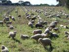 Remplacer la tondeuse par un mouton