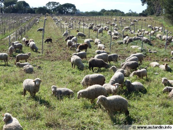 Des moutons dans les vignes pour tondre l'herbe