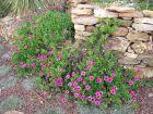 Des plantes pour les murets en pierres