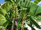 Bananier du Japon, Musa basjoo