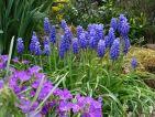 Les muscaris égayent de leurs grappes de fleurs bleues le jardin
