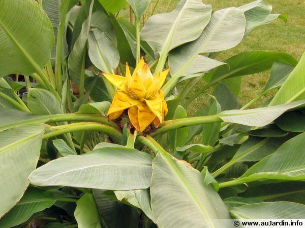 Bananier nain chinois lotus d or musella lasiocarpa - Bananier en pot ...