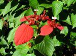 Sang des Ashantis, Mussaenda rouge, Mussaenda erythrophylla