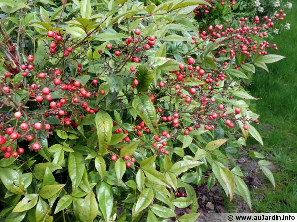 comment planter nandina domestica