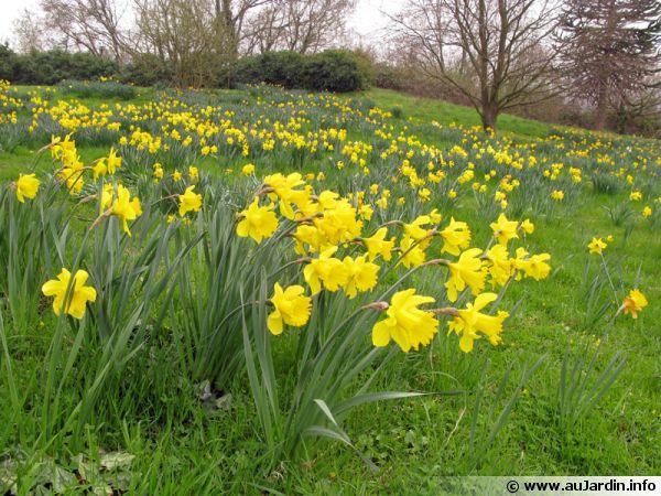 Les bulbes de narcisses plantés dans la pelouse se sont développés pour former de grosses touffres
