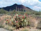 Parc national de Saguaro, cactus