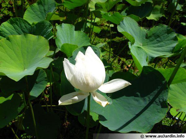 Fleur de Lotus, Nelumbo nucifera