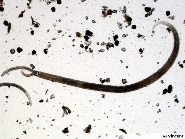 Un Mononchidae mangeant un autre Mononchidae