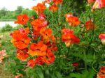 Nemesia hybride 'Magma Orange'