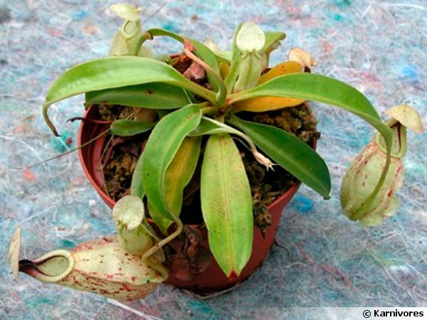 Népenthès de Raffles, Nepenthes rafflesiana