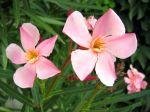 Laurier rose 'Villa Romaine', Nerium oleander 'Villa Romaine'