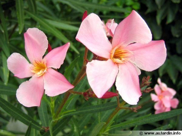 Laurier rose 39 villa romaine 39 nerium oleander 39 villa romaine 39 - Laurier rose toxique au toucher ...